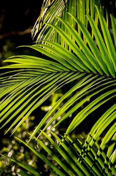 Palm, Bangalow Palm, Frond
