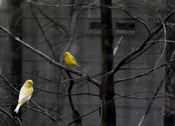Yellow birds with gray background
