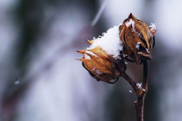frost on cotton blossom