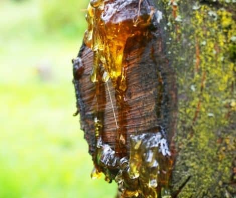 Natural resin oozing from a tree that has been cut